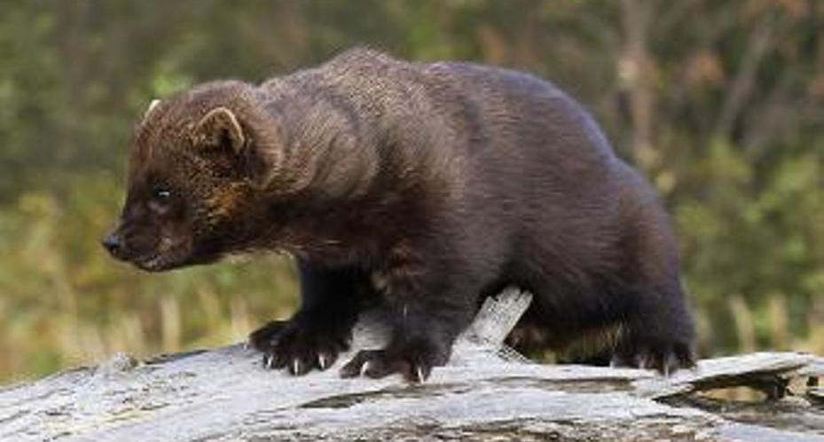 Warning Fisher Sighted Near Warkworth Again Trent Hills Now